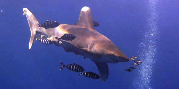 project-shark-2-rachel-gibl