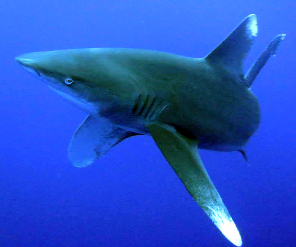 project-shark-amazing-rache