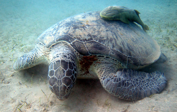Turtle Marsa Shagra