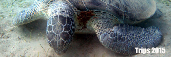 Turtle-Shagra