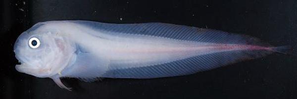 SNAILfish_19887c