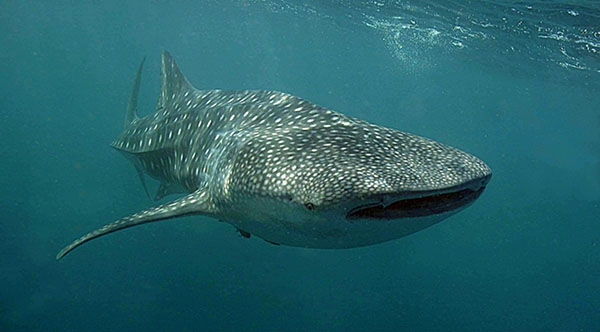 Whale Shark Djibouti